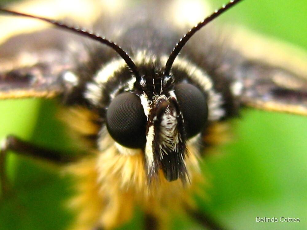 american indian moth by Belinda Cottee