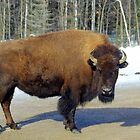 Bison Beauty. by vette