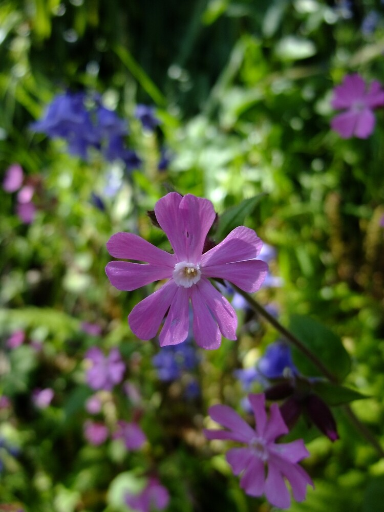 Red Campion (Silene dioica) by IOMWildFlowers