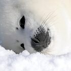 Seal Pup - White on Ice 2 by SuzanRS