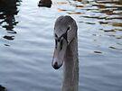 Young Swan by Matt Roberts