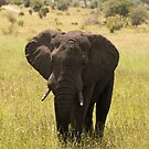 elephant in Kruger national park by ashley reed