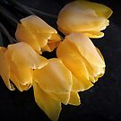 Yellow Tulips On Dark Background by kkphoto1