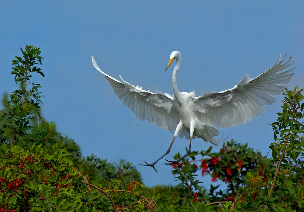 Great White Egret Landing By Michael Wolf Redbubble
