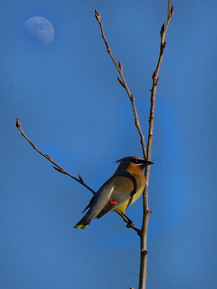 Bohemian Waxwing Male by Michael Wolf