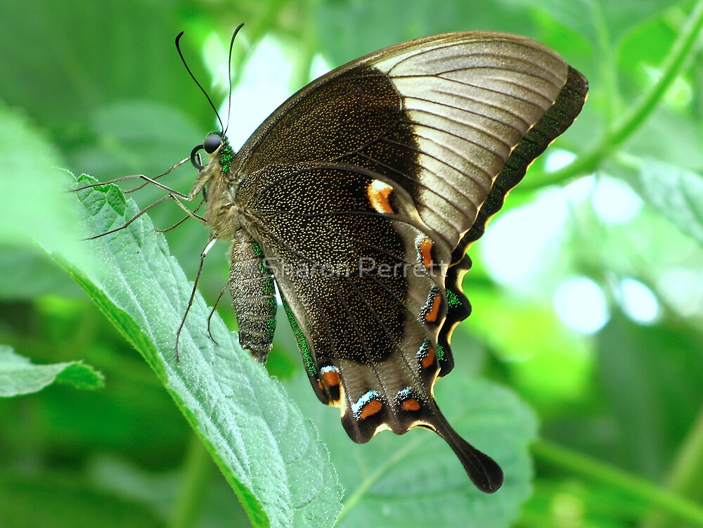 Emerald Swallowtail - Closed Wings by Sharon Perrett