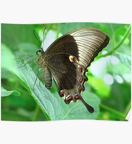 Emerald Swallowtail - Closed Wings Poster