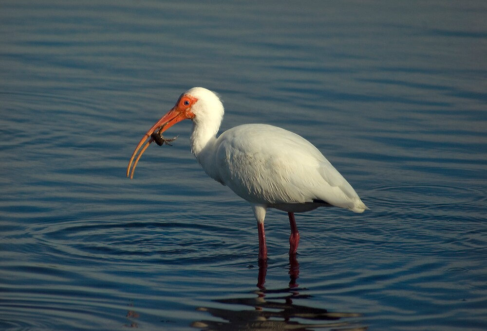 Ibis with Crab by Michael Wolf