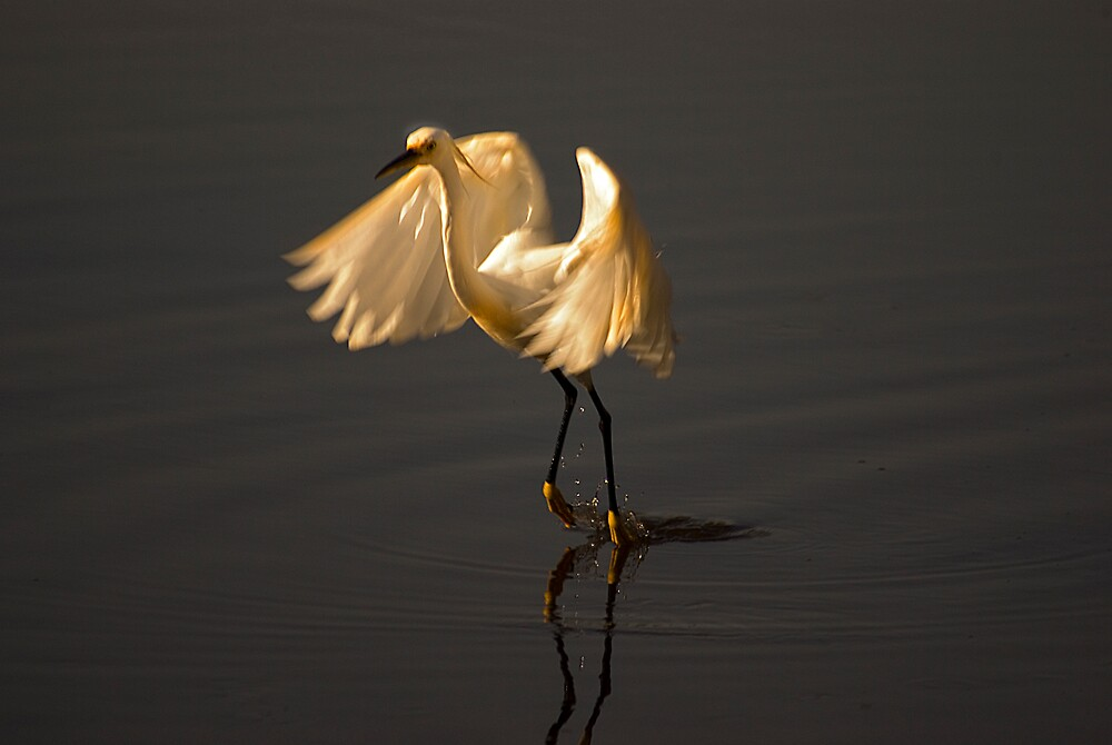 Egret Lifting Off by Michael Wolf