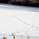Animal Tracks by MarcVDS
