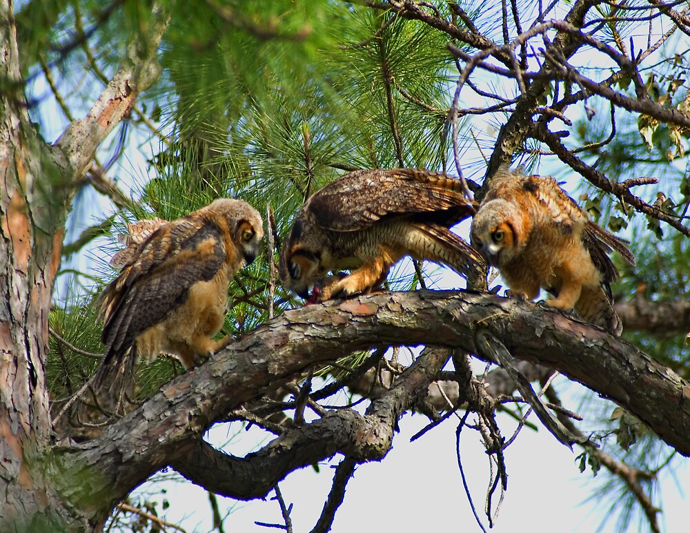 Great Horned Owls Feeding by Michael Wolf