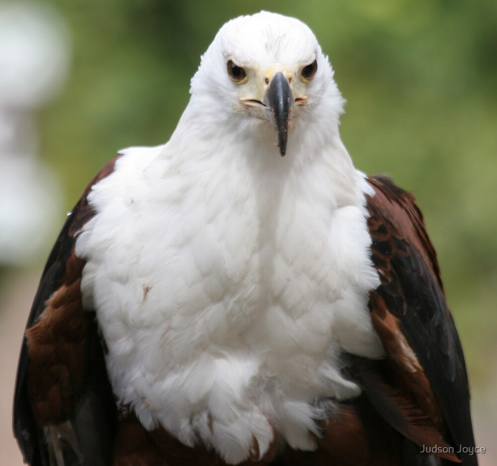 wild bird eagle photography by Judson Joyce