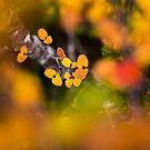Colours of Fagus by Stephanie Johnson
