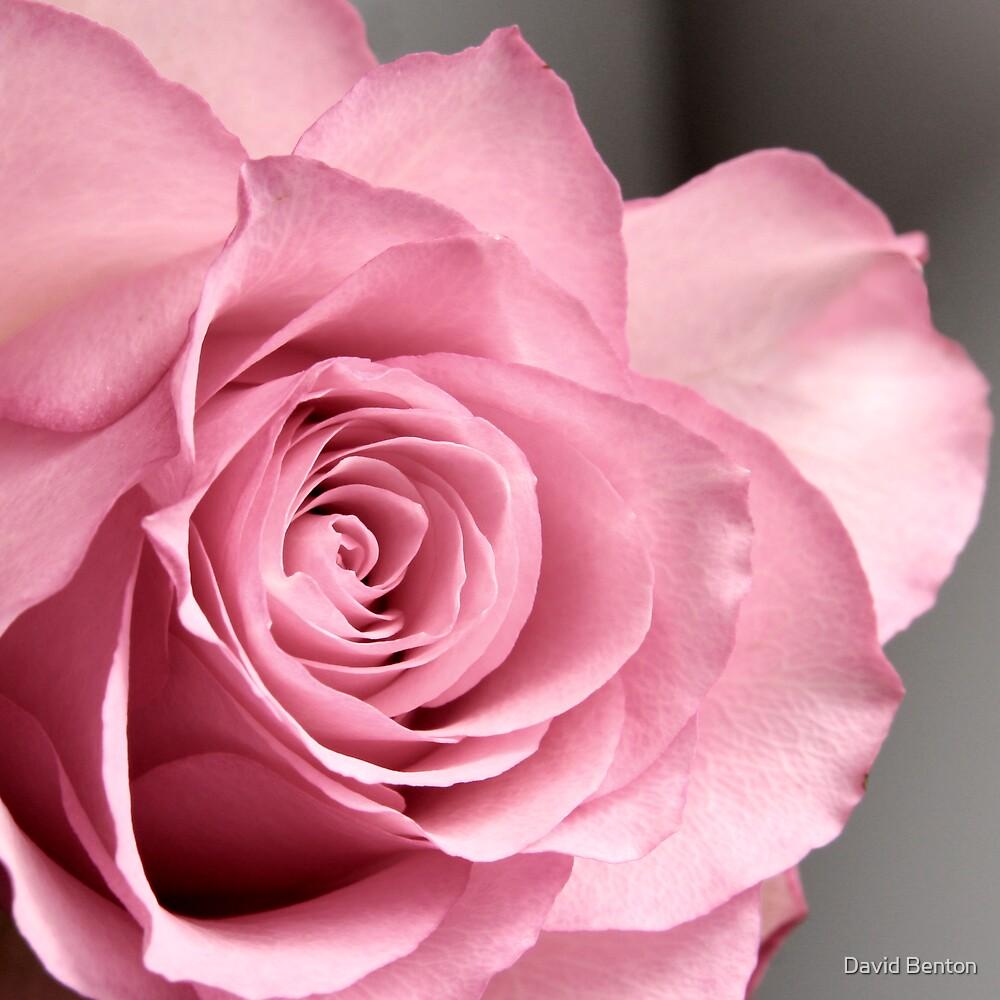 Rose by David Benton