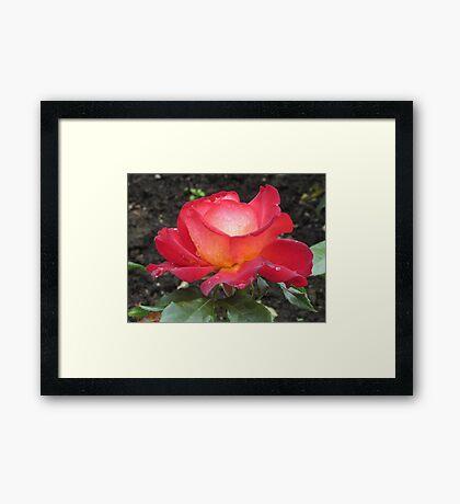 A rose named Pigalle Framed Print