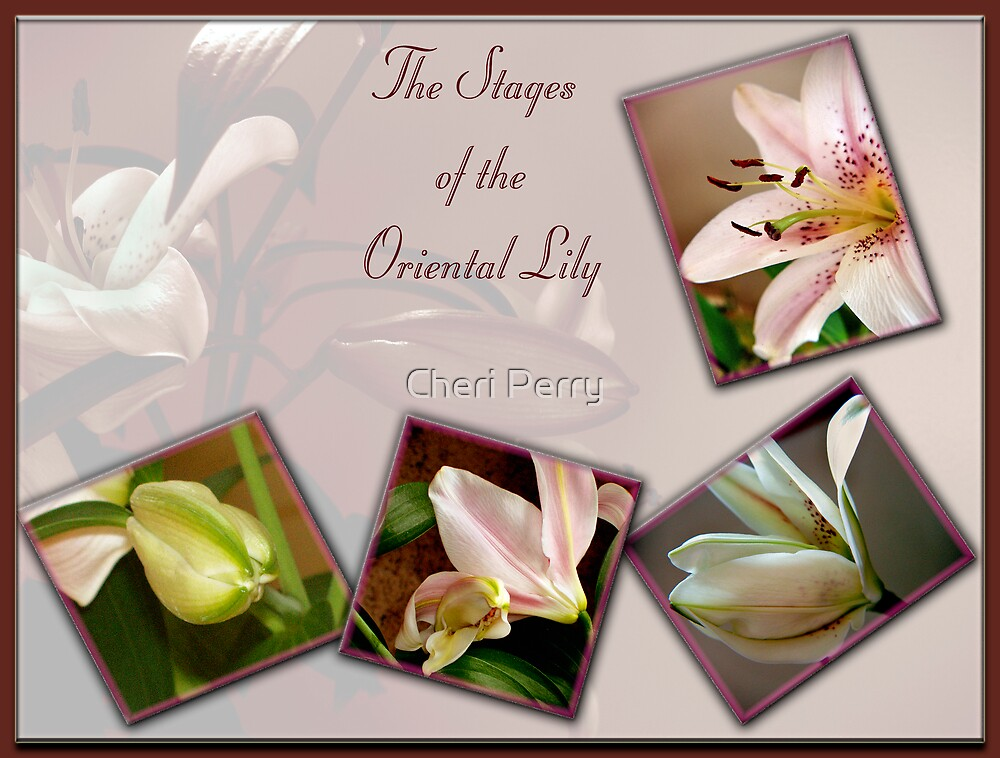 Oriental Lily Stages by Cheri Perry
