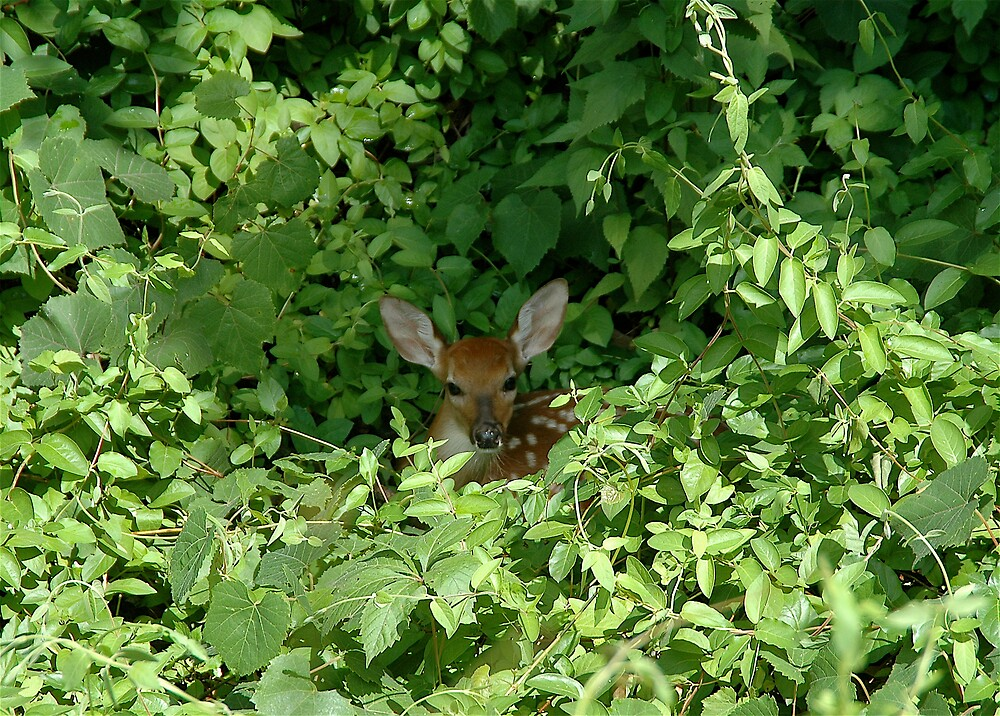 Fawn in hiding by Jim Caldwell
