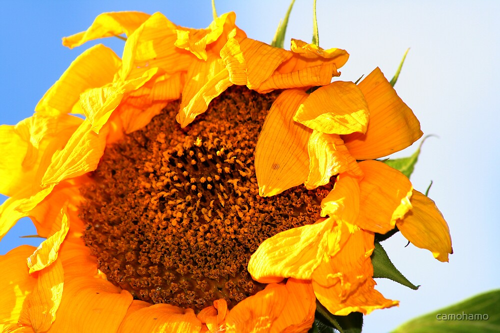 Dying Sun Flower by camohamo