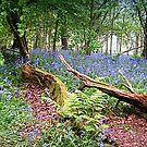 Teppiche von Bluebells von naturelover
