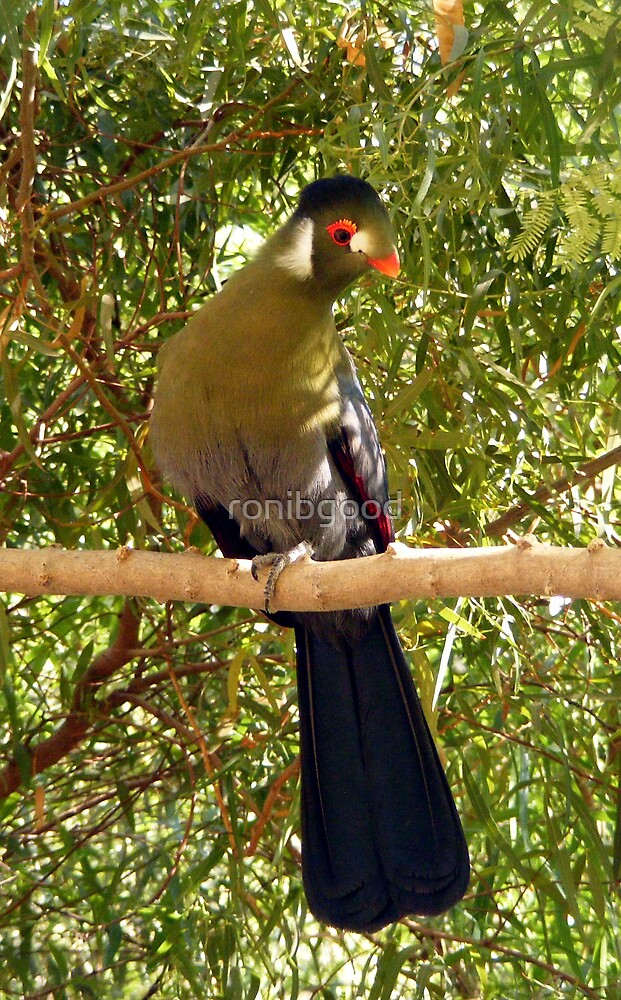 Beautiful bird by ronibgood