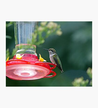 Perched Hummingbird Photographic Print