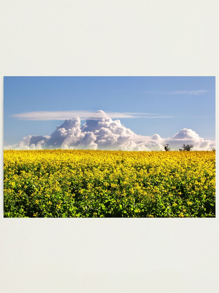 Alternate view of Canola Crops and Clouds Photographic Print