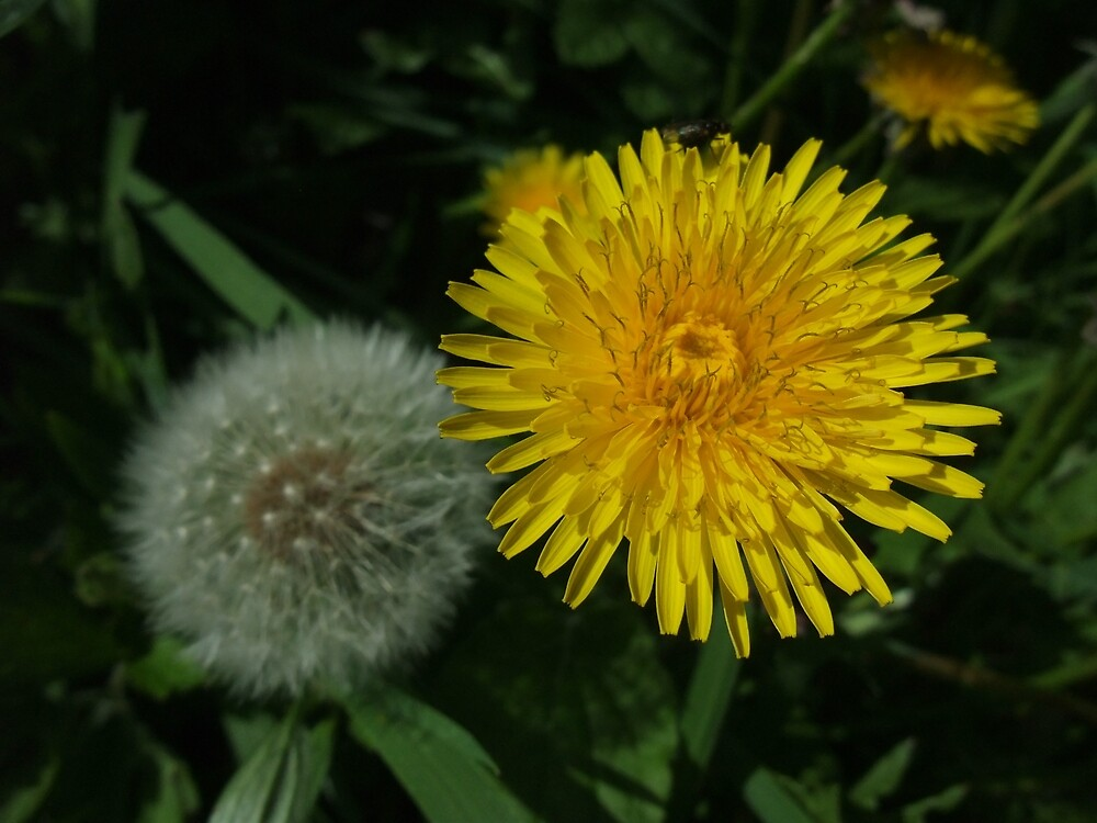 Dandelion (Taraxacum officinale) by IOMWildFlowers