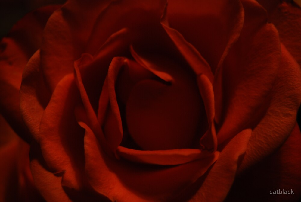 Rose petals by catblack
