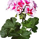 Red And Pink Geranium by Susan Savad