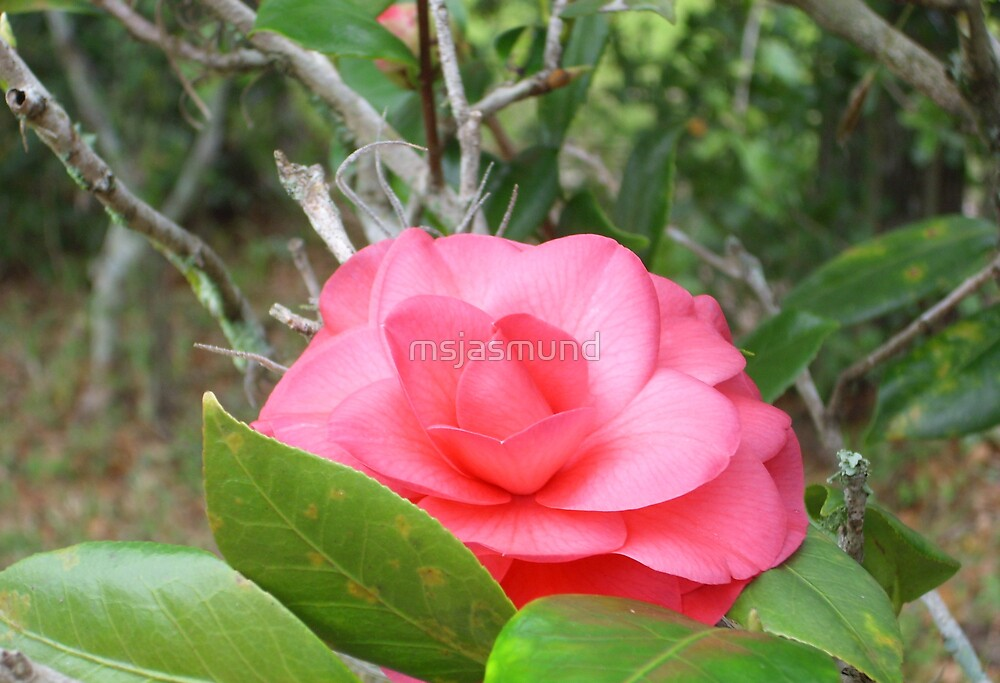Pink Beauty by Pamela Jasmund