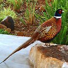 Mongolian Ringnek Pheasant by Hedgie's Nature & Gardening Journal