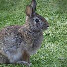Bunny by Rosemary Sobiera