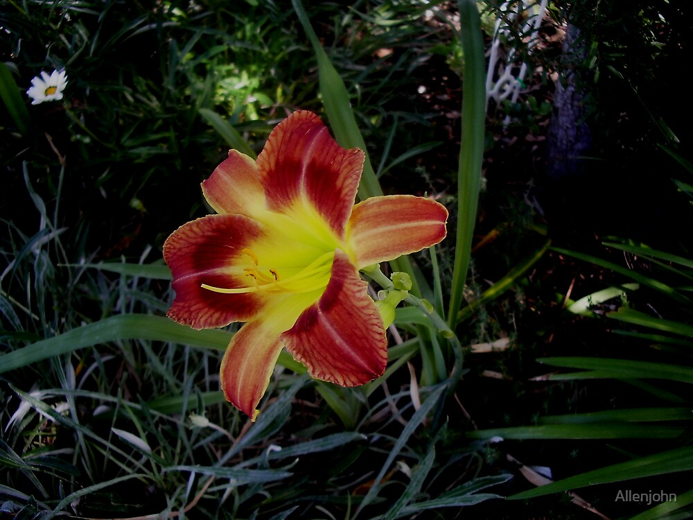 Day Lilly by Allenjohn