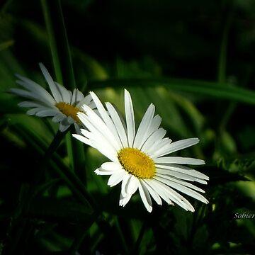 Daisy Innocence by rsobiera
