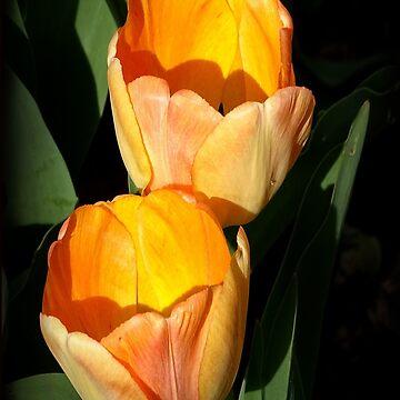 Two Tulips by rsobiera