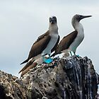 Blue-footed Boobies by algill