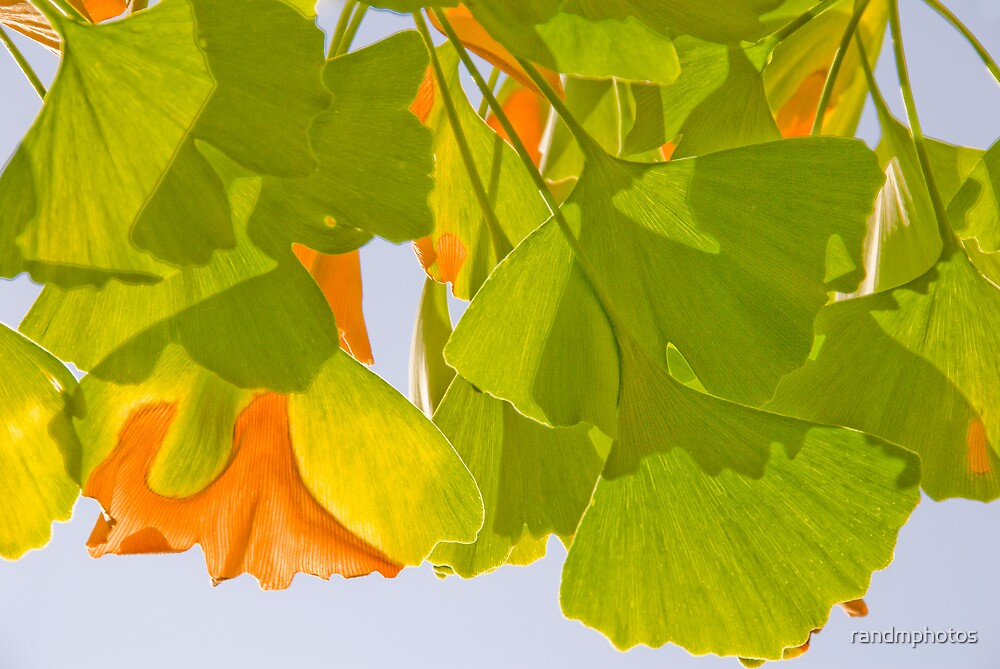 Summer Ginkgo by randmphotos