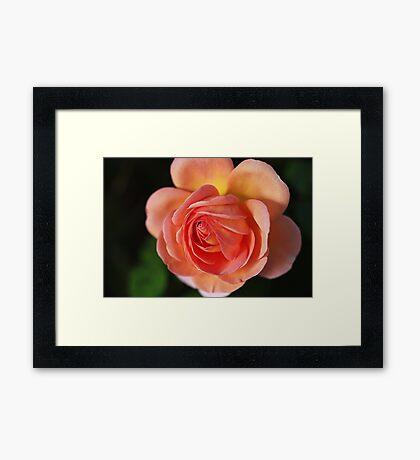 Twirl It Rose Framed Print