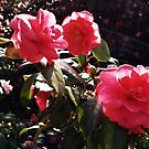 Pink Camellias by Ms-Bexy