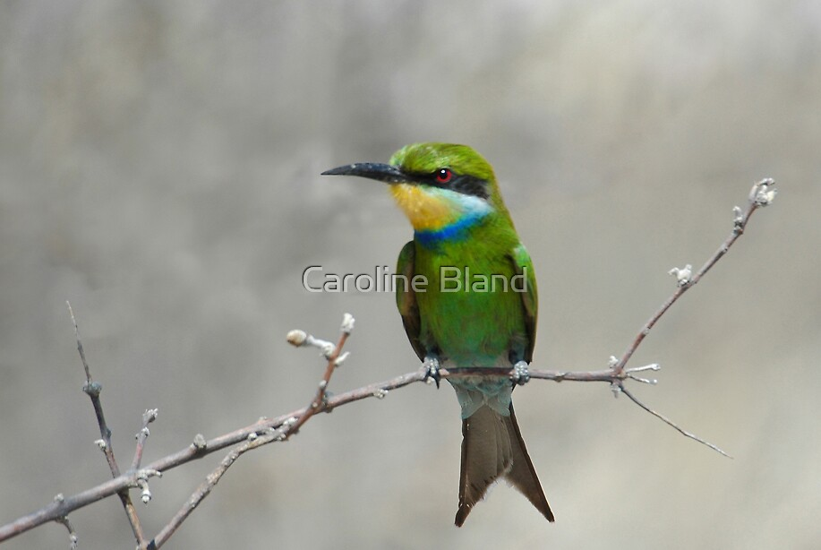 Swallowtailed Bee-eater by Caroline Bland