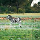 ZEBRA by Larry Glick