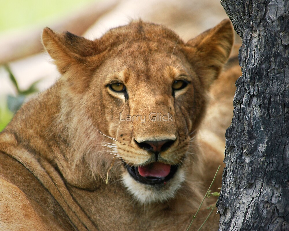 LION CUB by Larry Glick