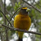 Male Evening Grosbeak by Martha Medford