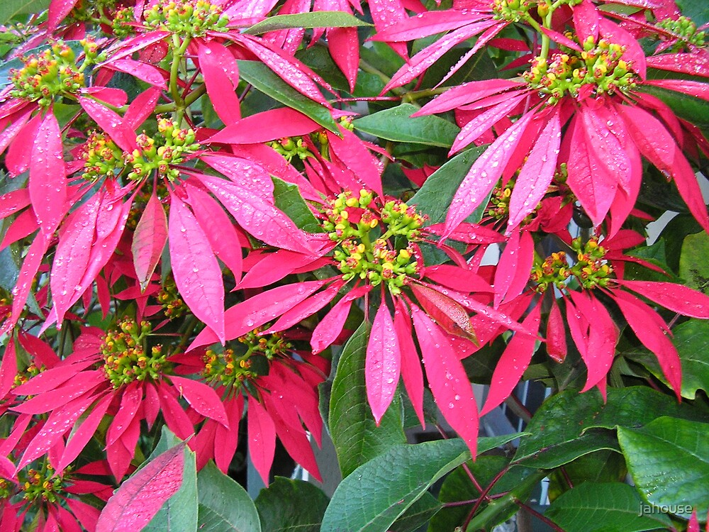 Winter Poinsettia by jahouse