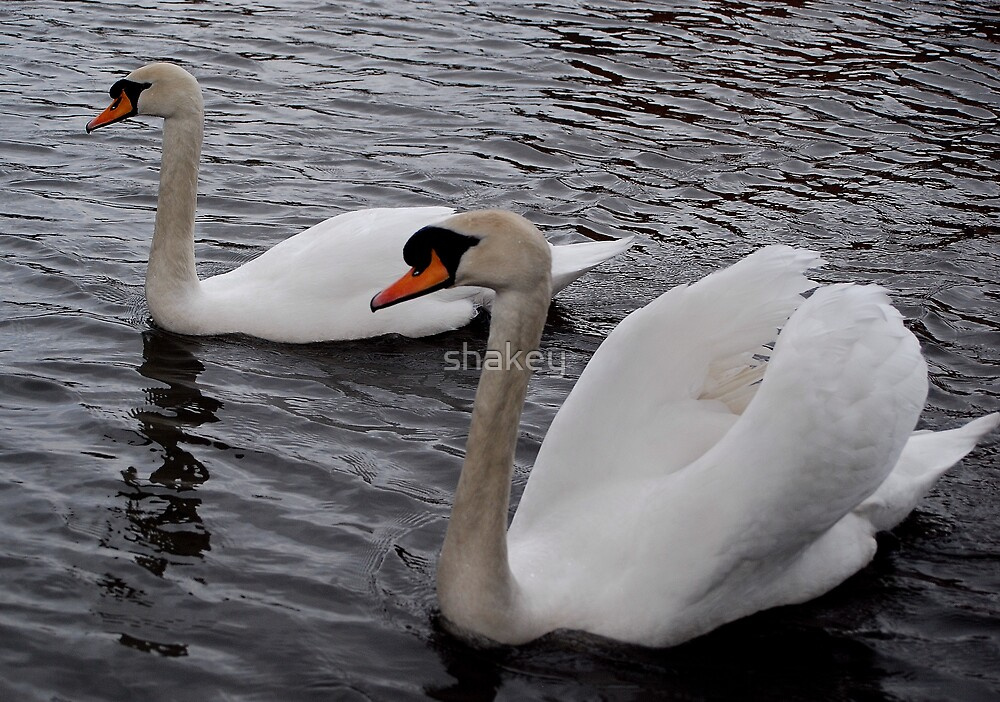Swans by shakey