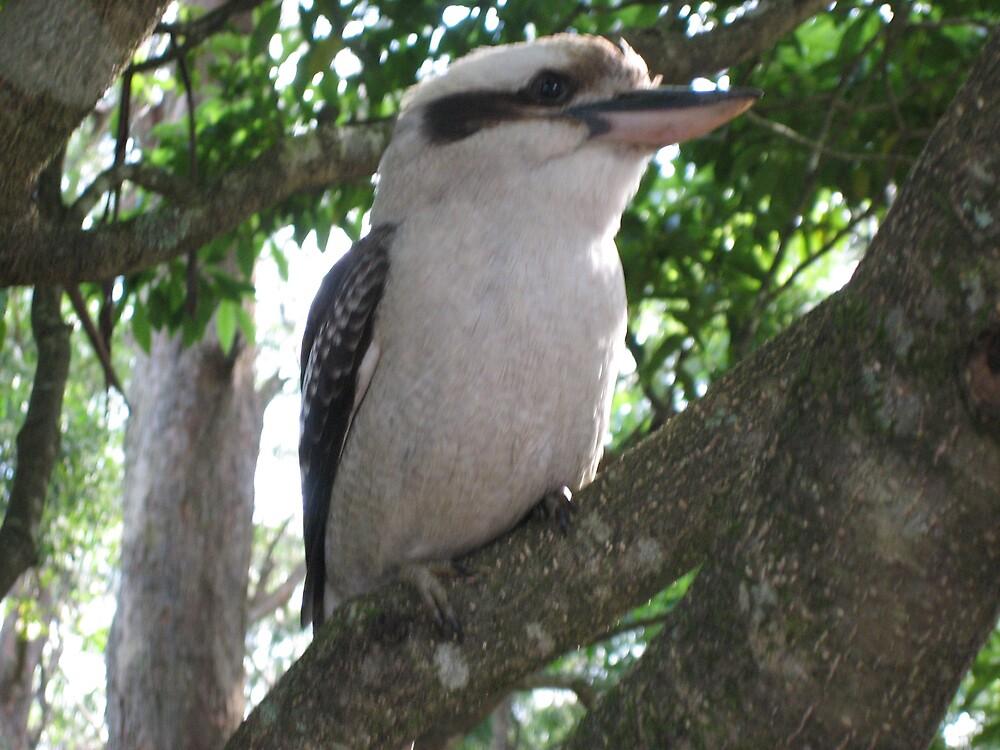 Kookaburra Up Close by AdrianMichael