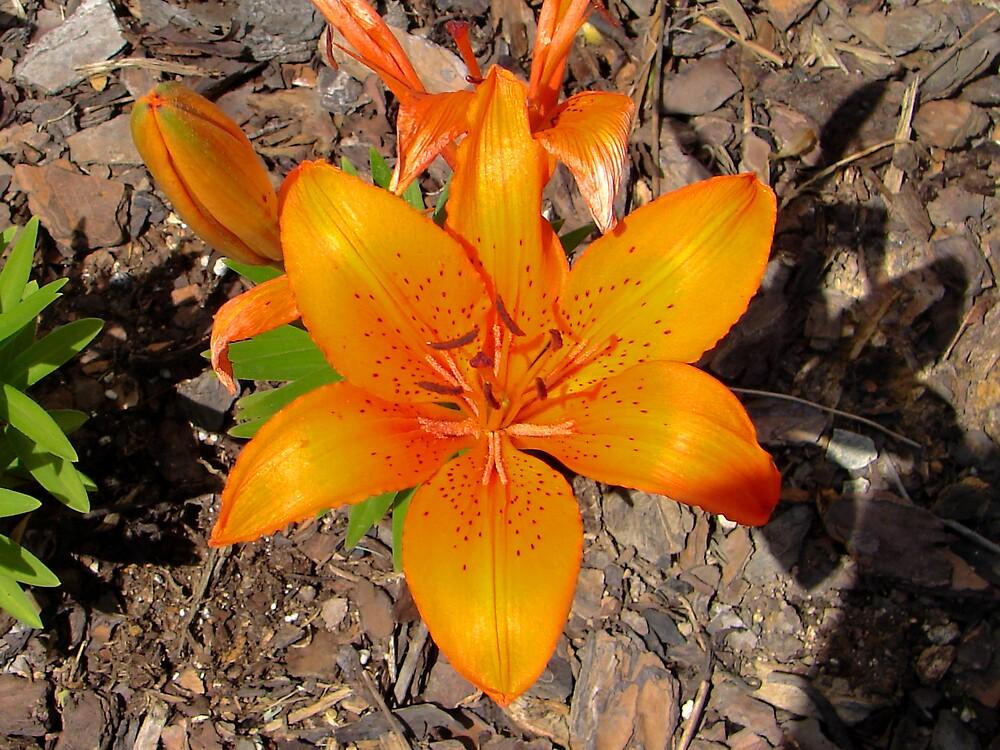 Asian Lily by shadyuk