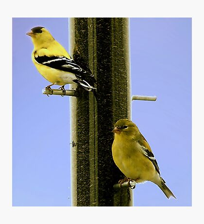 Goldfinch At the Feeder Photographic Print
