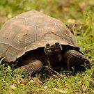 Turtle smiling by Derek McMorrine