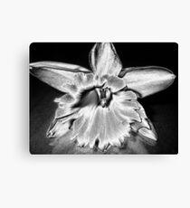 daffodil in silver Canvas Print